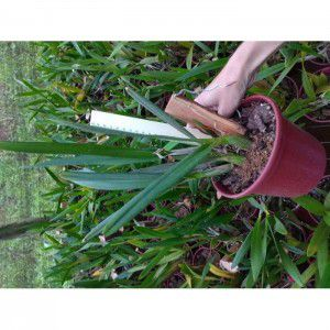 Muda de Orquídea Rhyncatclia itapolitana