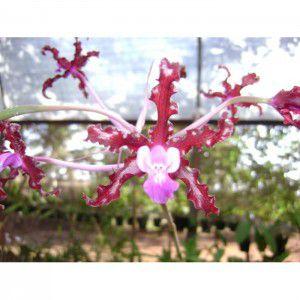 Muda de Orquídea Sacholburgkia undulata