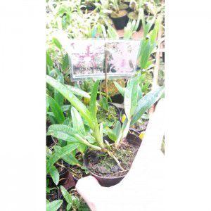 Muda de Orquídea Schomburgkia undulata x Cattleya amethystoglossa