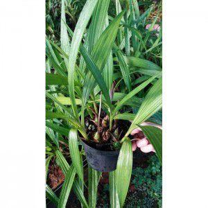 Muda de Orquídea Spatoglottis plicata
