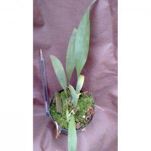 Muda de Orquídea  Stenocoryne aureo-fulva