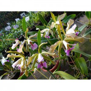 Muda de Orquídea Teacher Cida
