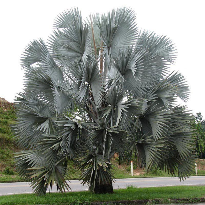 Muda de Palmeira Azul - Bismarckia Nobilis