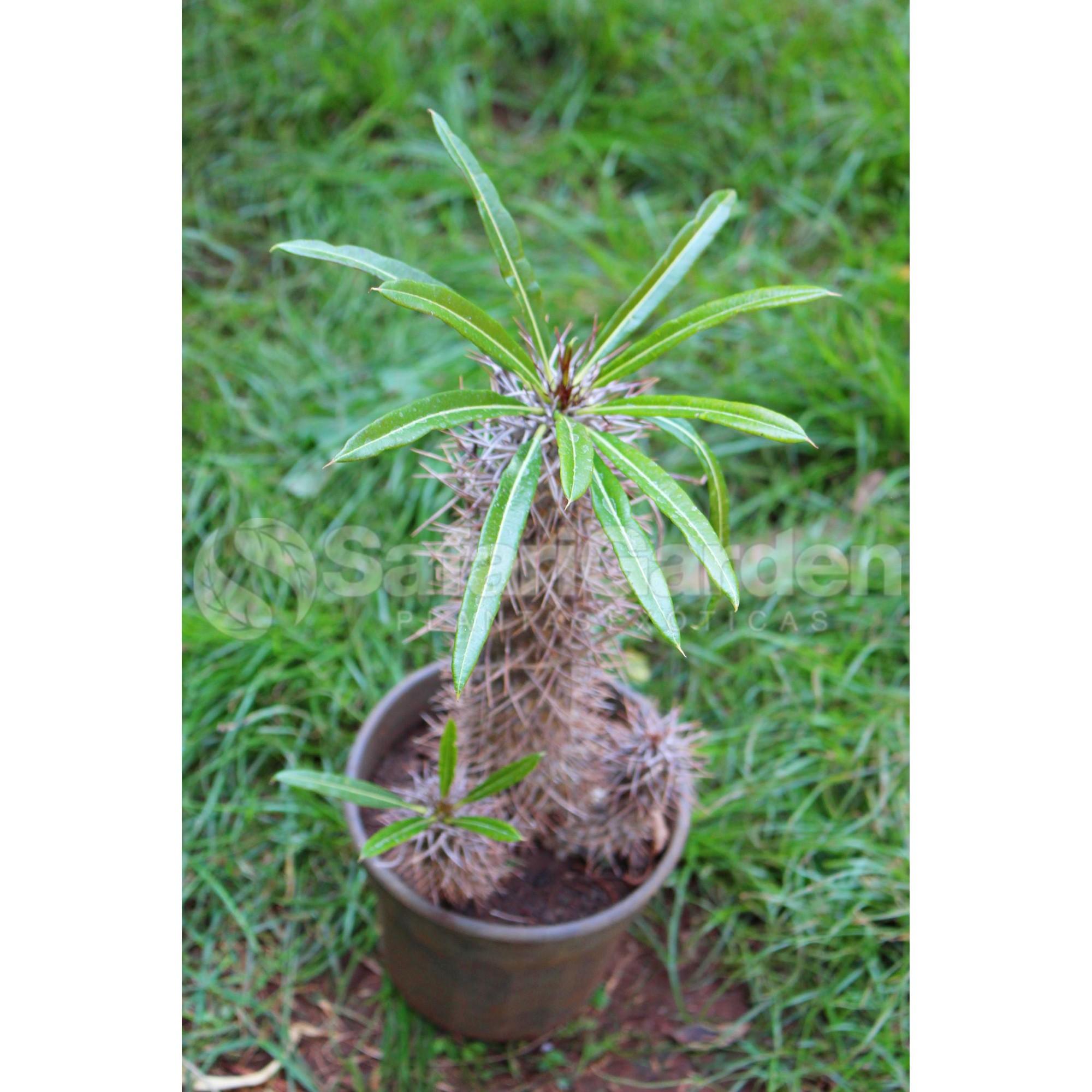 Muda de Palmeira de Madagascar ou Pachypodium lamerei