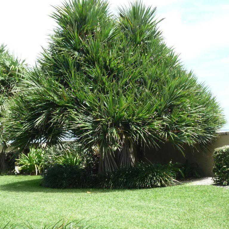 Muda de Pândano - Pandanus Veitchii