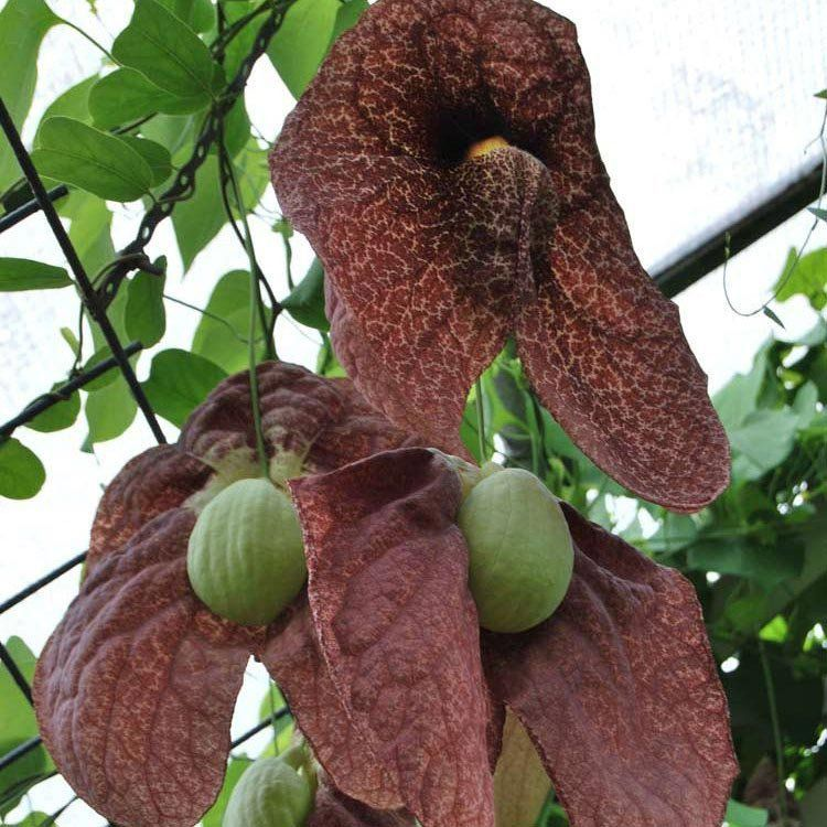 Muda de Papo de Peru - Aristolochia Gigantea