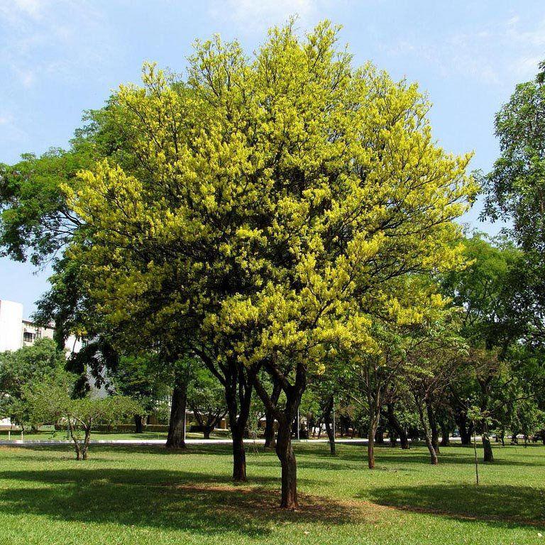 Muda de Pau Brasil - Caesalpinia Echinata