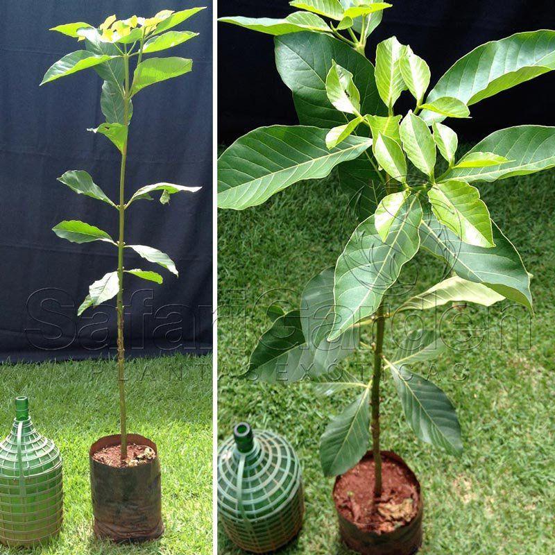 Muda de Pau Mulato ou Mulateiro - Calycophyllum Spruceanum