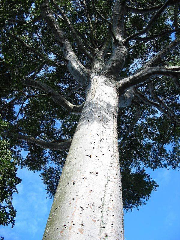 Muda de Pinheiro Kauri ou Pinheiro Australiano