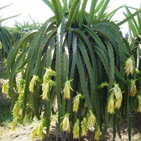 Muda de Pitaya Amarela Colombiana - Com espinho