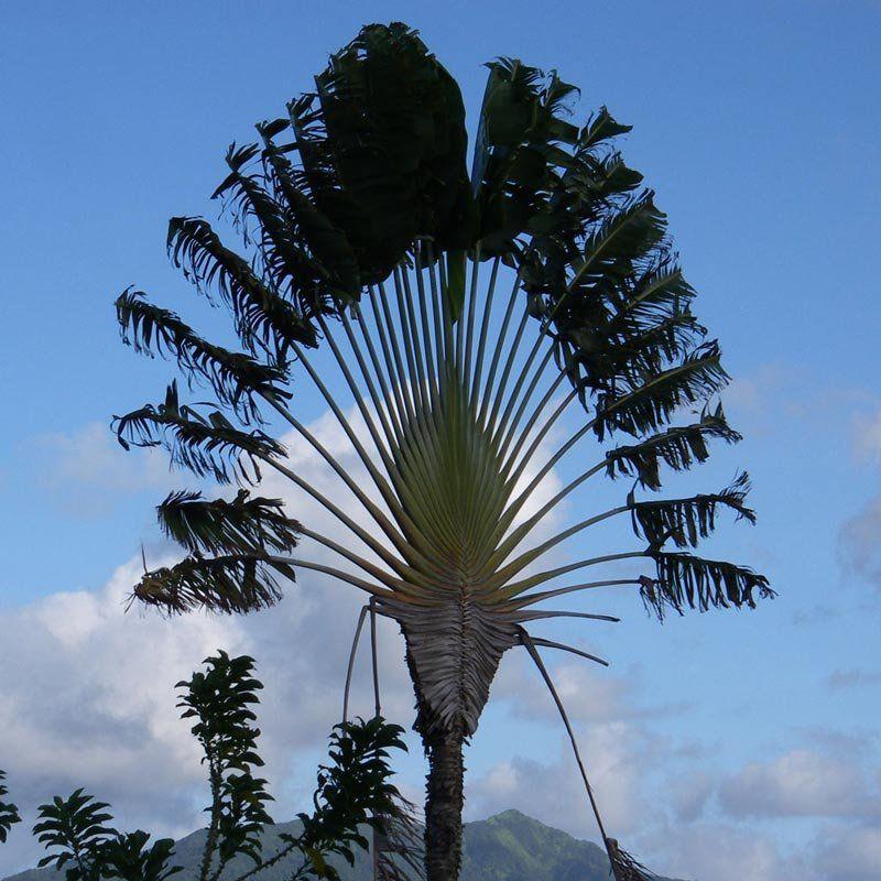 Muda de Ravenala  - Palmeira de Madagascar - Ravenala Madagascariensis