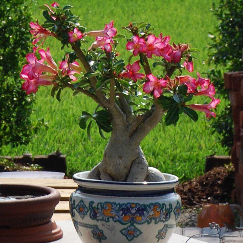Muda de Rosa do Deserto - Adenium Obesum