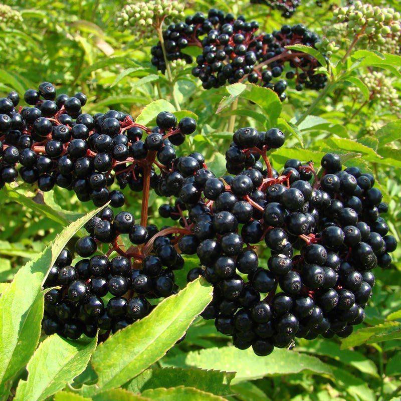 Muda de Sabugueiro - Elderberry