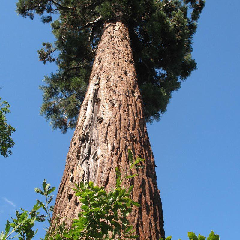 Muda De Secóia Ou Sequóia - Sequoiadendron Giganteum