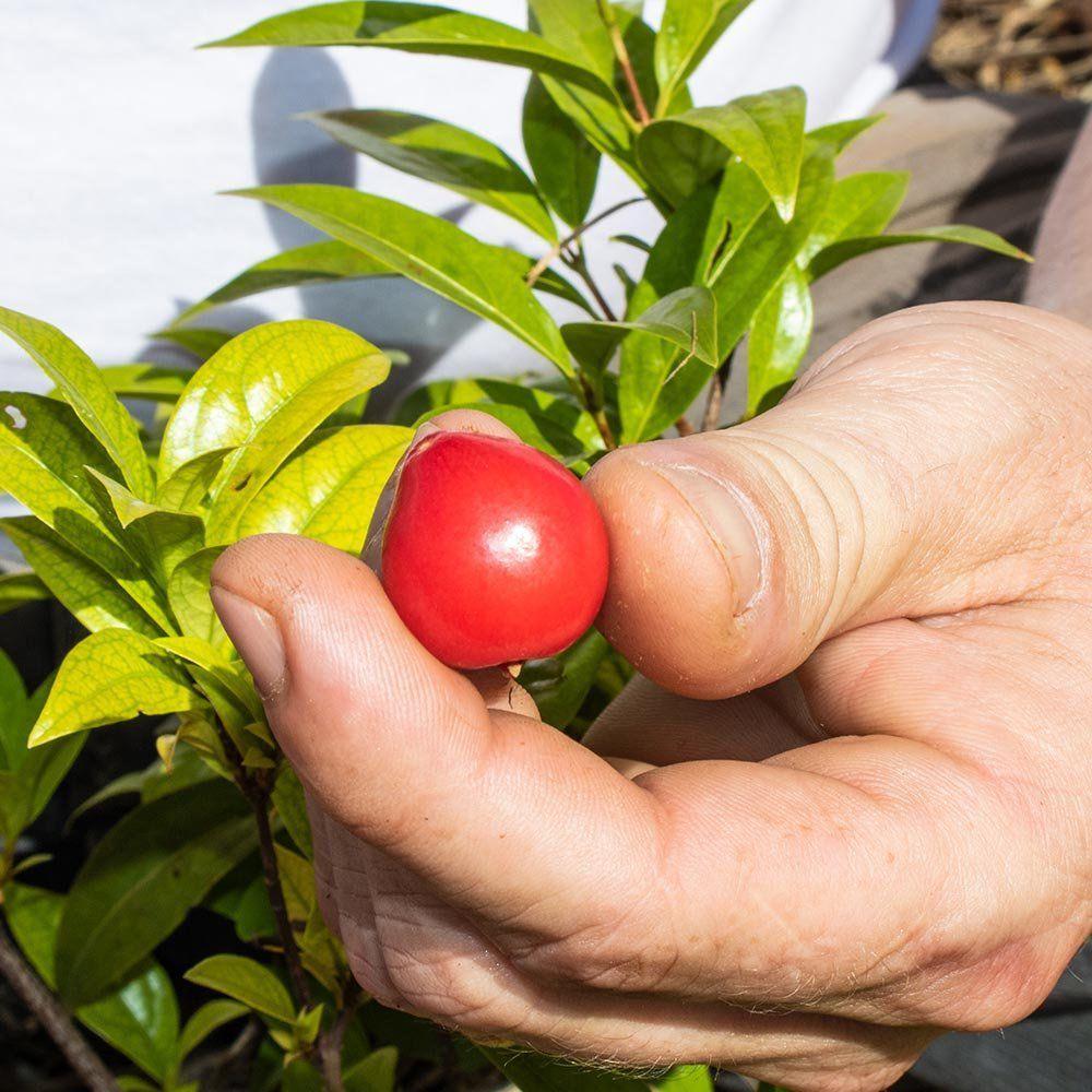 Muda De Ubaia - O Rubi Do Amazonas - Fruta Muito Rara!
