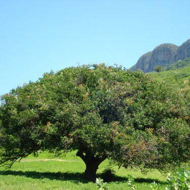 Muda de Umbu - Alporquia