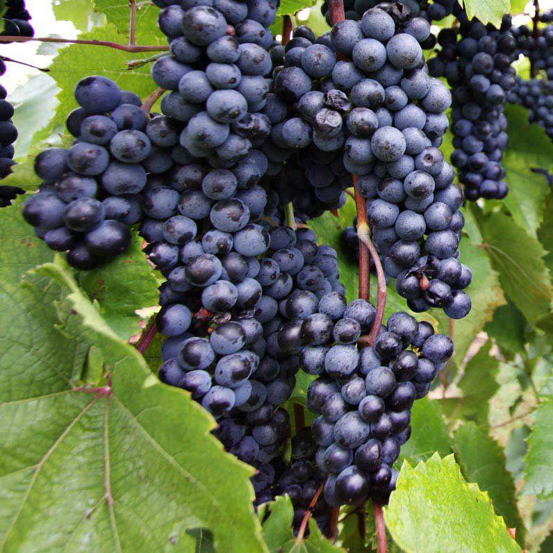 Muda de Uva Bordô ou Ives Seedling - Enxertadas