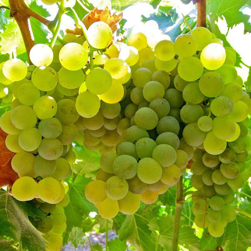 Muda de Uva Lorena Branca para Vinhos - Enxertada