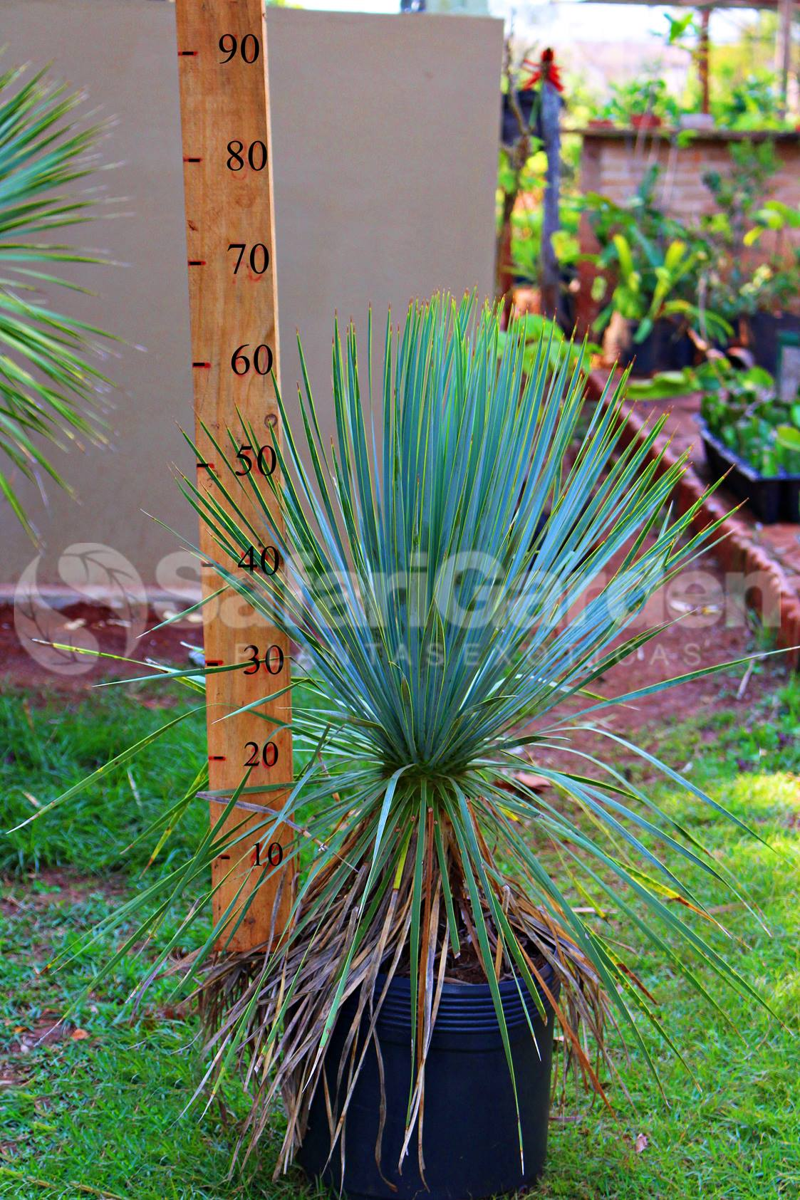 Muda de Yucca Rostrata