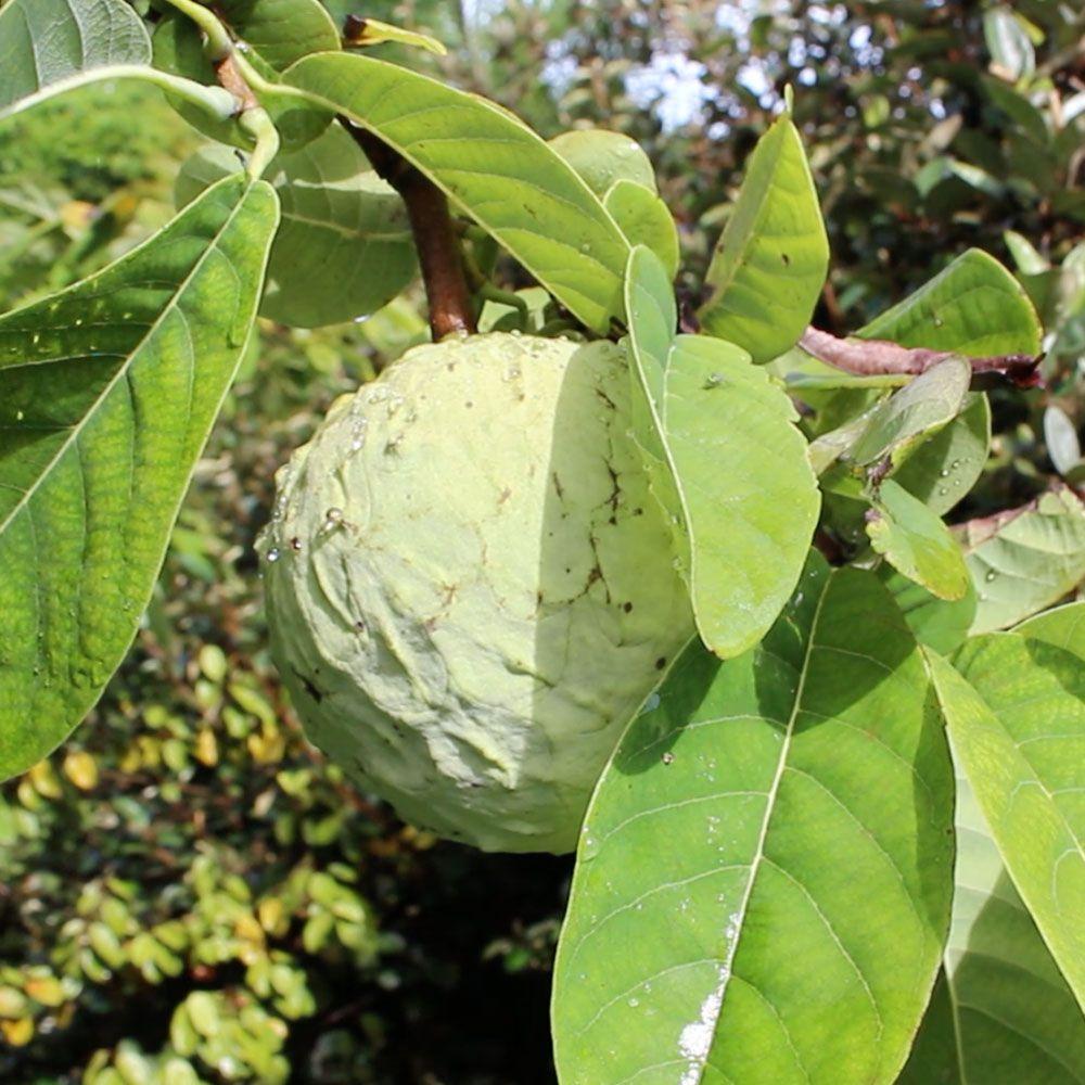 Muda Enxertada de Ilama ou Cherimóia da Montanha - Annona Macroprophyllata