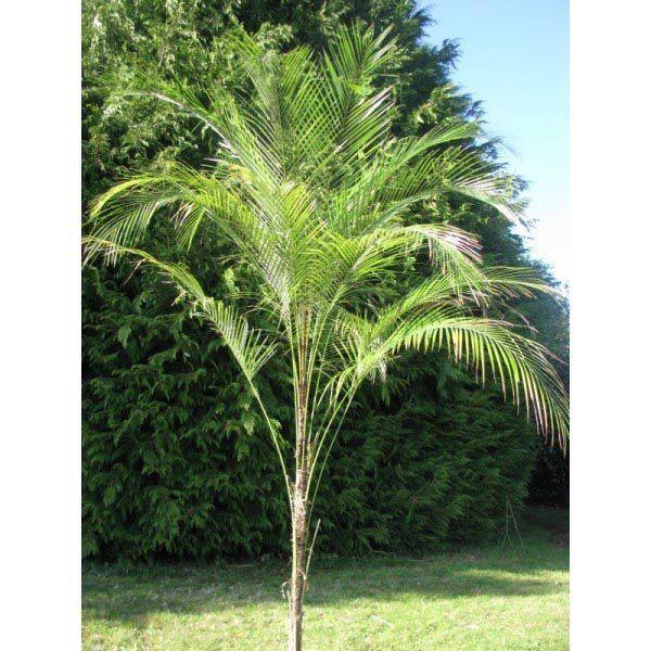 Muda Pequena de Palmeira Wedeliana - Lytocaryum Weddellianum