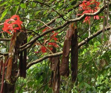 Muda Pequena de Rainha das Árvores - Amherstia Nobilis