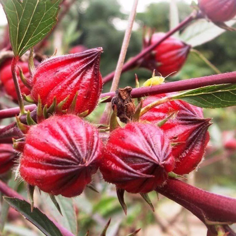 Muda Produzindo de Hibisco Vinagreira - Roselle