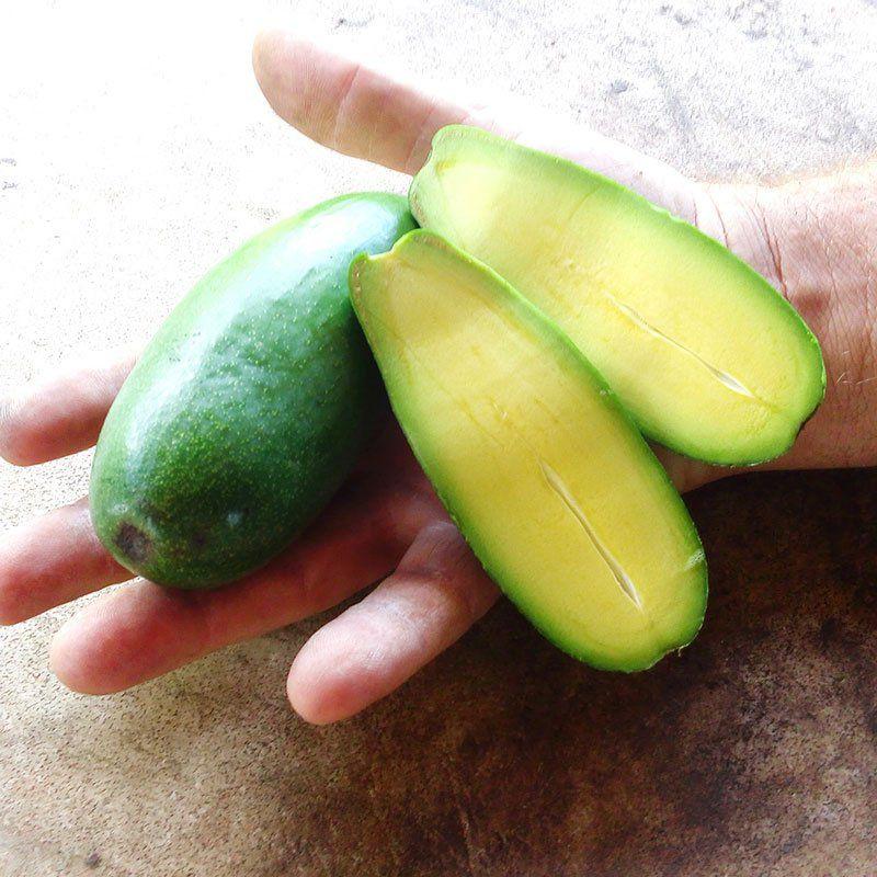Muda de Abacate Sem Caroço - Enxertadas