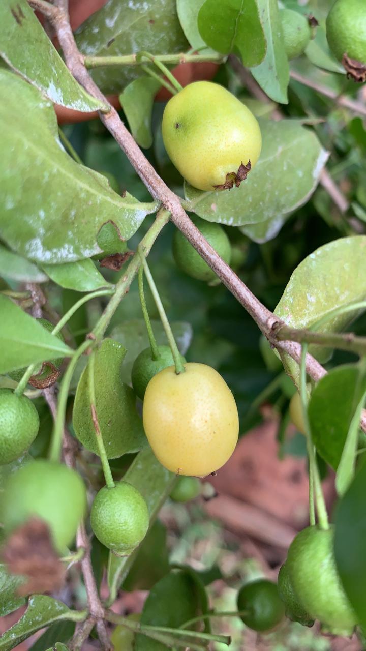 Mudas de Cambuí Amarelo - Saborosa Frutífera