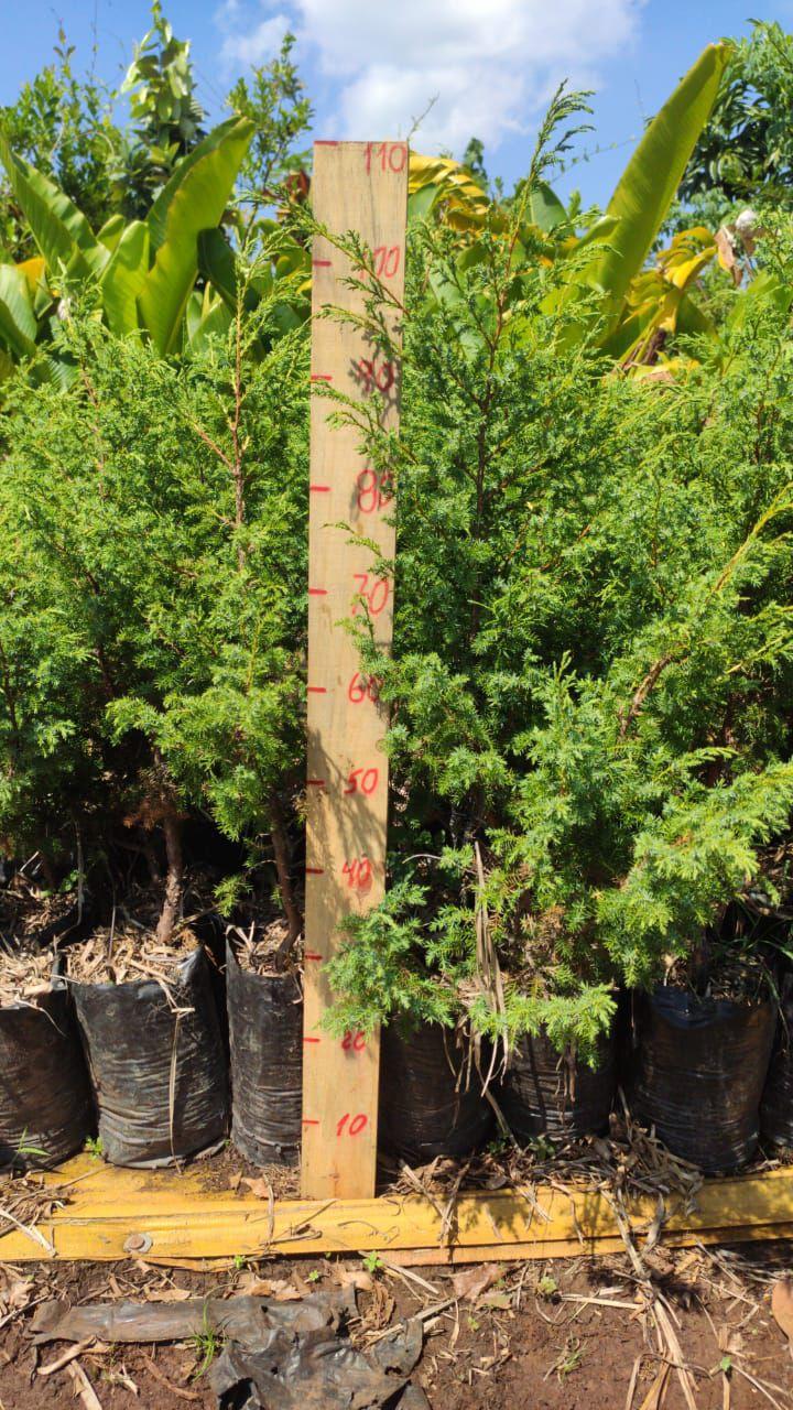 Mudas de Cedro Português - Excelente planta para cerca viva