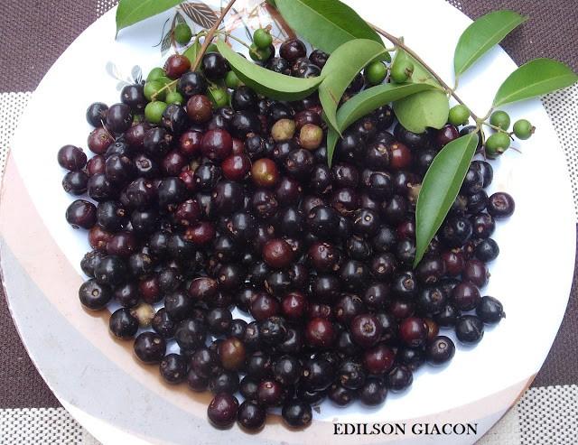 Mudas de Guamirim - Saborosa frutífera