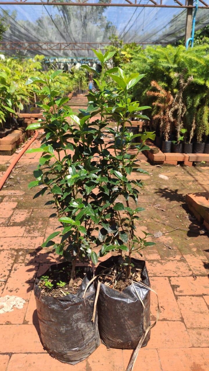 Mudas de Junipero Sueco - Excelente planta para cerca viva