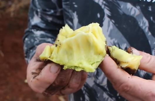 Mudas de Marolo Liso - Saborosa Frutífera