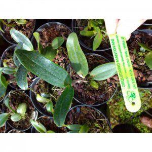 Mudas de Orquídea Cattleya amethystoglossa