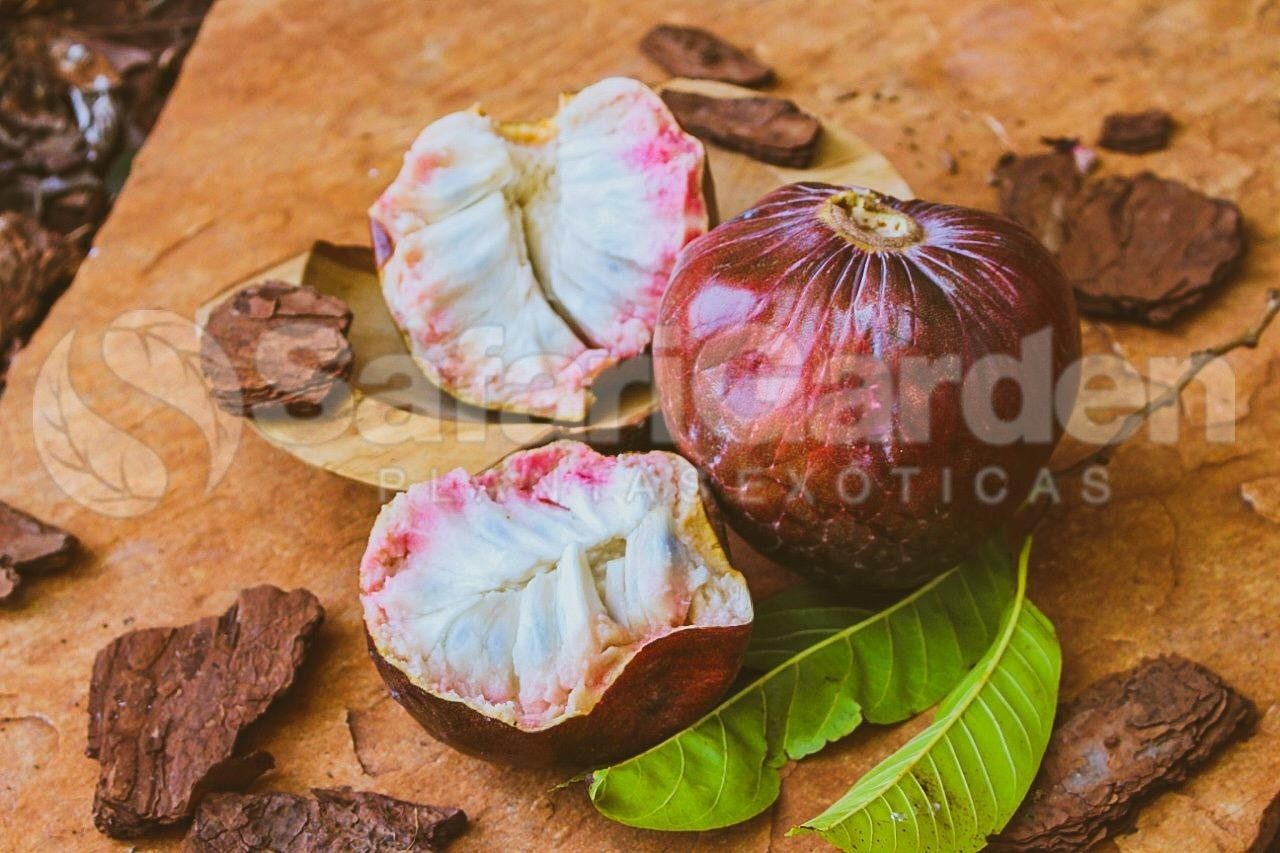Mudas de Pinha Vermelha dos Astecas - Fruta Sagrada