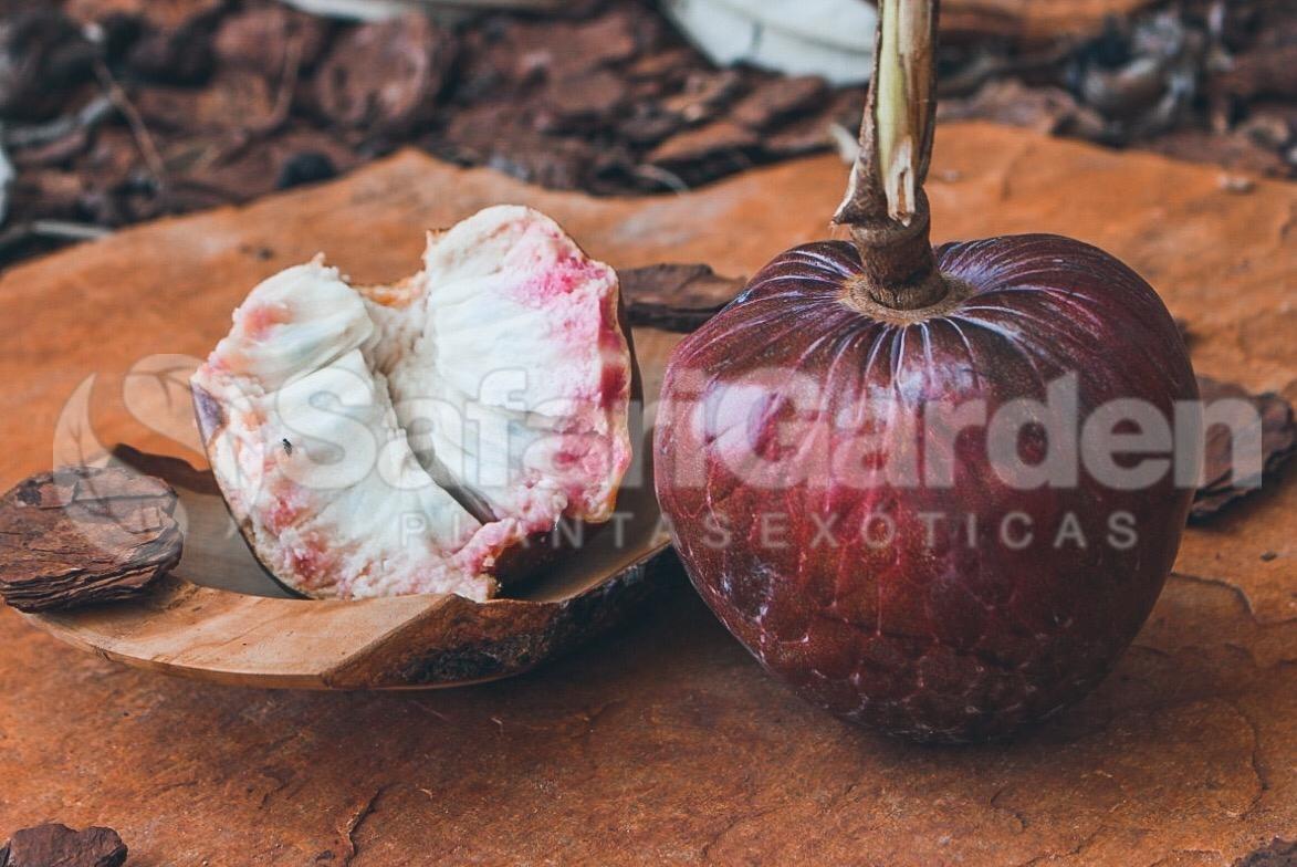 Mudas  de Pinha Vermelha dos Astecas - Fruta Sagrada - Enxertada!