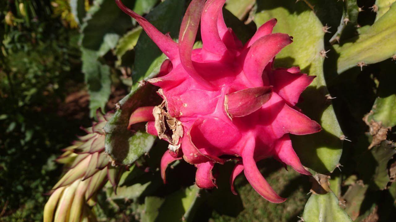 Mudas de Pitaya Vermelha da Costa Rica ( Kit com 5 estacas )