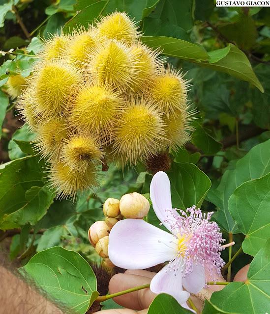 Mudas de Urucum Amarelo - Planta Ornamental