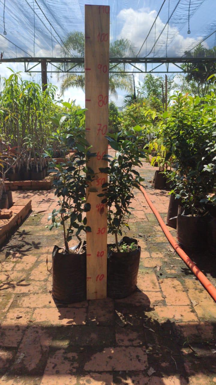 Mudas de Viburno Tinus - Excelente planta para cerca viva