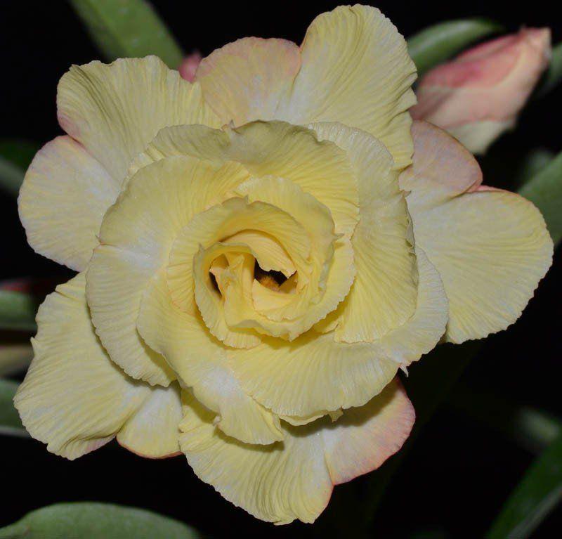 Rosa do Deserto AMÉLIA Cor Amarela Dobrada Tripla - EV-486