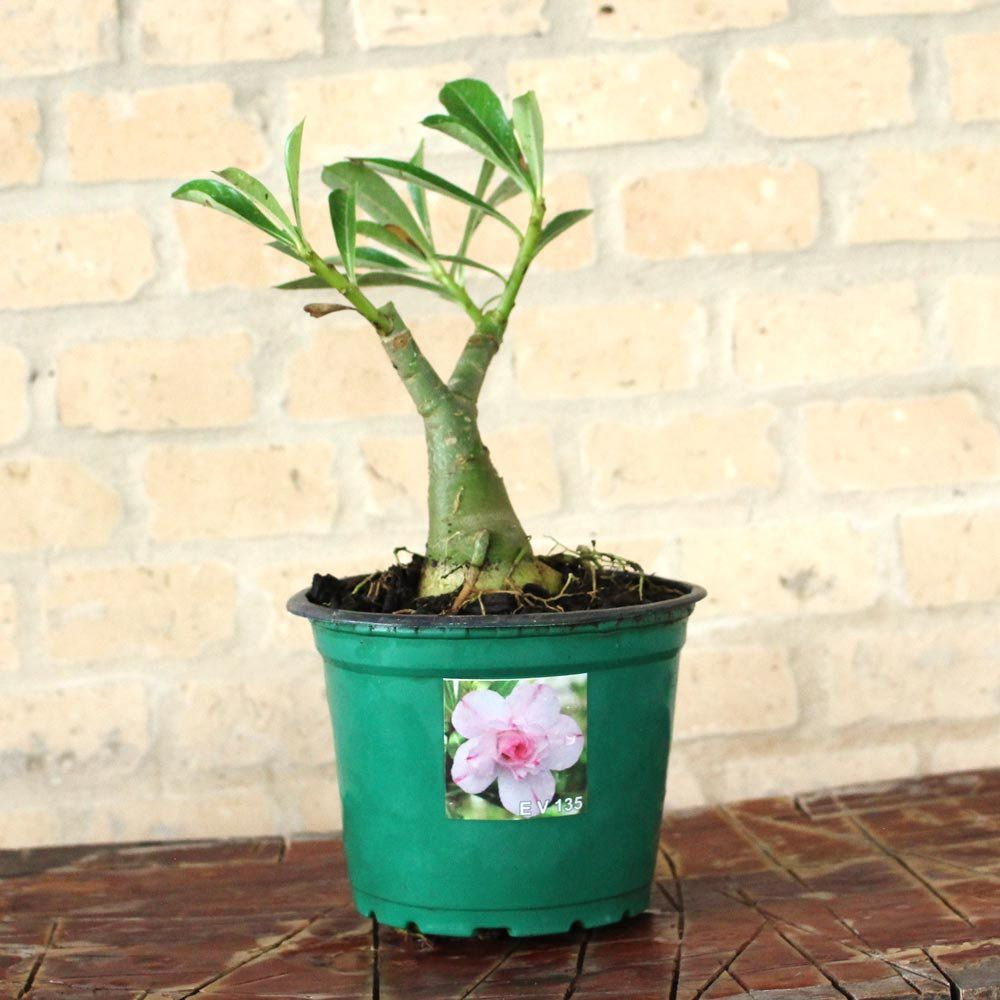 Rosa do Deserto ÁUREA Cor Branca Dobrada com Riscos Pink - EV-135