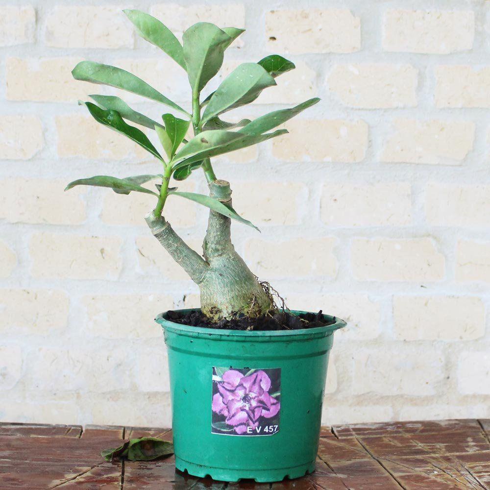 Rosa do Deserto BERTA Cor Roxa Dobrada - EV-457