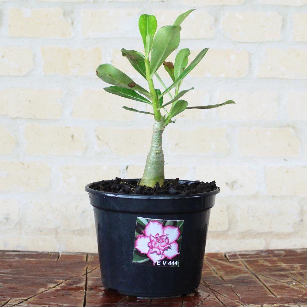 Rosa do Deserto CATARINA Cor Branca Dobrada com Borda Pink - EV-444