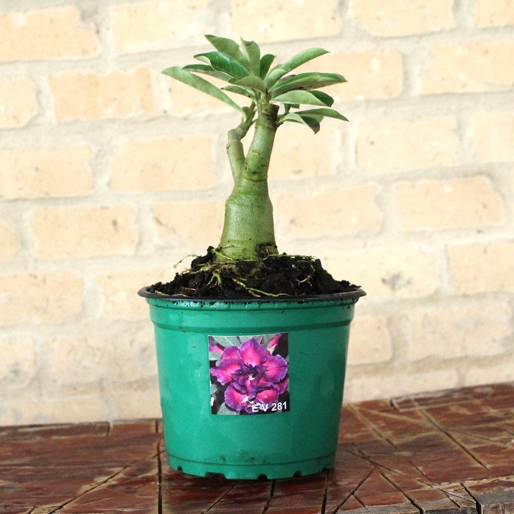 Rosa do Deserto CELESTE Cor Matizada em Pink e Roxa Dobrada - EV-281