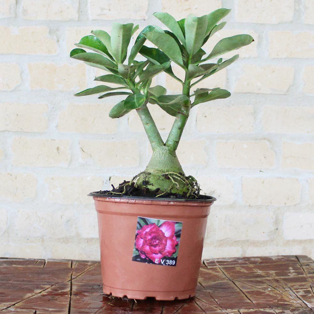 Rosa do Deserto EDITE Cor Vermelha Dobrada Tripla - EV-389