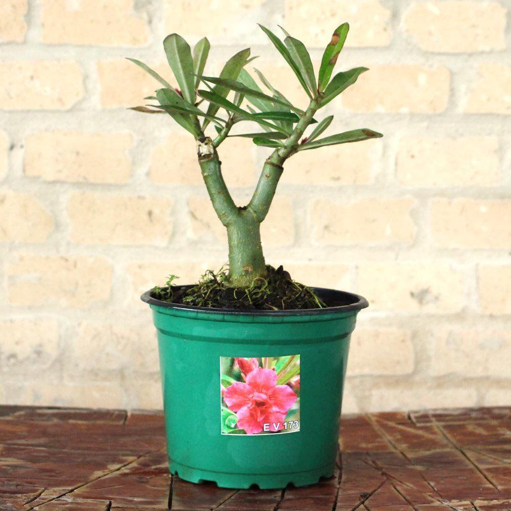 Rosa do Deserto EMÍLIA Cor Pink com Manchas Brancas - EV-173
