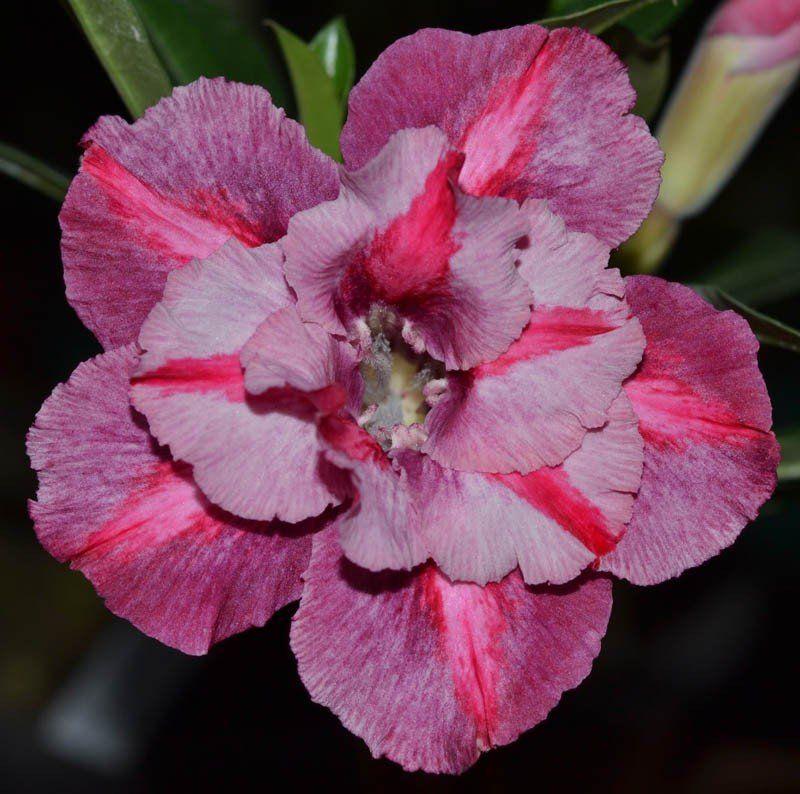 Rosa do Deserto OLINDA Rosa com Pink e Roxo - EV-386