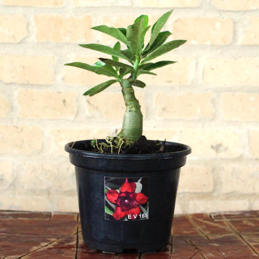 Rosa do Deserto NAZARÉ Cor Matizada em Vermelho e Preto Dobrada - EV-165