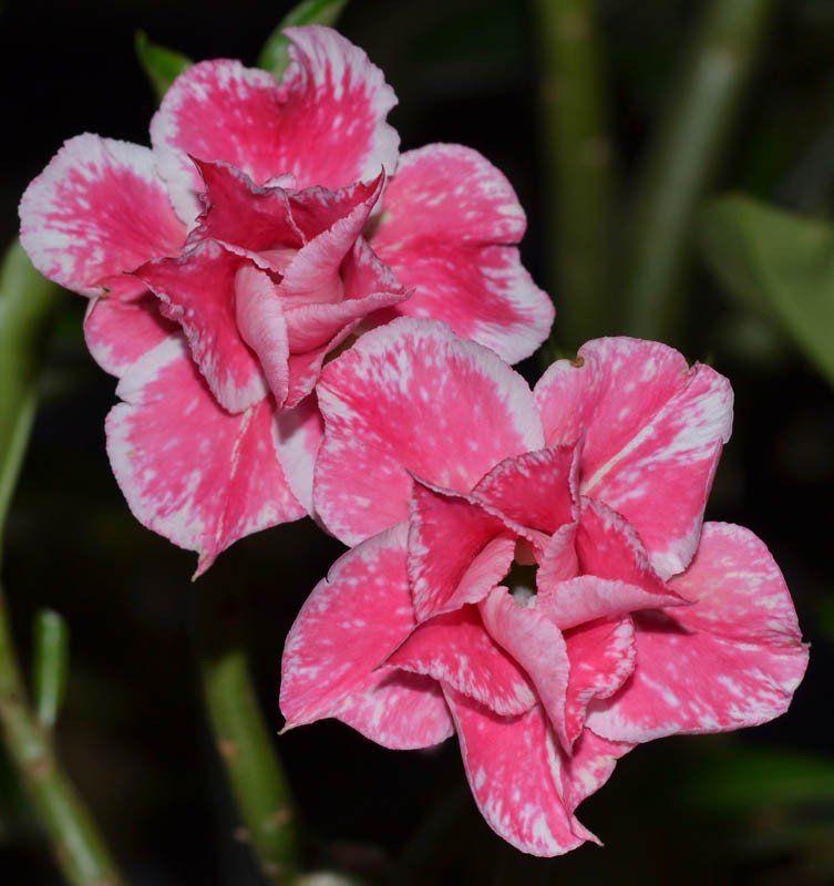 Rosa do Deserto ÍRIS Cor Rosa Manchada de Branco - EV-319