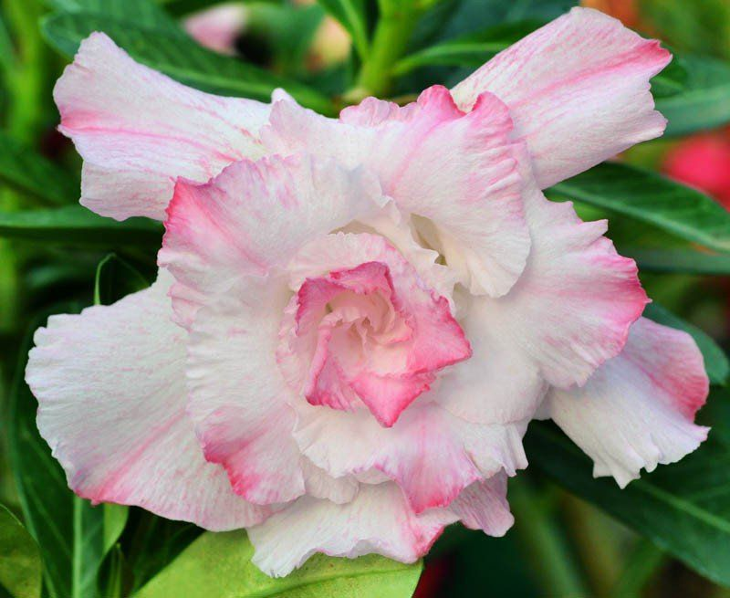 Rosa do Deserto DALVA Flor Tripla Branca com Mancha Rosa - EV-239